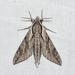 Paratrea plebeja - Photo (c) Royal Tyler, algunos derechos reservados (CC BY-NC-SA)