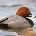 Common Pochard - Photo (c) sailesh panchal, some rights reserved (CC BY-NC-ND)