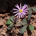 Pilliga Daisy - Photo (c) dhfischer, some rights reserved (CC BY-NC)