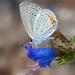 Mariposa Azul con Cola - Photo (c) bob15noble, algunos derechos reservados (CC BY-NC)