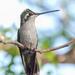 Rivoli's Hummingbird - Photo (c) Mikael Behrens, some rights reserved (CC BY-NC)