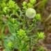 Rhopalomyia gemmaria - Photo (c) friesen5000, algunos derechos reservados (CC BY-NC)