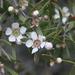 Leptospermum polygalifolium transmontanum - Photo (c) Lise Kool, some rights reserved (CC BY-NC)
