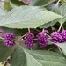 American Beautyberry - Photo (c) Robert LaPlante, some rights reserved (CC BY-NC)