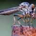 Ommatius - Photo no hay derechos reservados