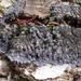 Pannaria conoplea - Photo (c) Tomás Curtis, algunos derechos reservados (CC BY-NC)
