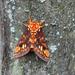Citheronia equatorialis - Photo (c) jimmypih653,  זכויות יוצרים חלקיות (CC BY-NC)