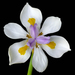 Fortnight Lilies - Photo (c) James Gaither, some rights reserved (CC BY-NC-ND)