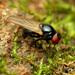 Lonchaeidae - Photo (c) Katja Schulz, algunos derechos reservados (CC BY)