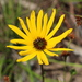 Variableleaf Sunflower - Photo (c) Lena Zappia, some rights reserved (CC BY-NC)
