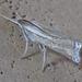 Ancylolomia japonica - Photo (c) onidiras-iNaturalist,  זכויות יוצרים חלקיות (CC BY-NC)