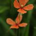 Papaver dubium - Photo (c) Jeremy Barker, algunos derechos reservados (CC BY-NC)