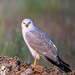 Pallid Harrier - Photo (c) Uday Agashe, some rights reserved (CC BY-NC)