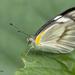 Appias libythea - Photo (c) Anil Kumar Verma,  זכויות יוצרים חלקיות (CC BY-NC)