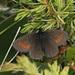 Erebia claudina - Photo (c) jkt,  זכויות יוצרים חלקיות (CC BY-NC)