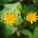 Two-flower Dwarf-Dandelion - Photo (c) Mark Kluge, some rights reserved (CC BY-NC-ND)