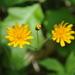 Krigia biflora - Photo (c) Mark Kluge, alguns direitos reservados (CC BY-NC-ND)