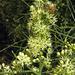 Koeberlinia spinosa - Photo (c) Dick Culbert,  זכויות יוצרים חלקיות (CC BY)