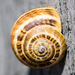 White Italian Snail - Photo (c) BJ Stacey, some rights reserved (CC BY-NC)