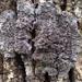 Pectenia plumbea - Photo (c) Tomás Curtis, algunos derechos reservados (CC BY-NC)