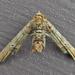 Marathyssa inficita - Photo (c) joannerusso, algunos derechos reservados (CC BY-NC)