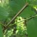 Fraxinus quadrangulata - Photo (c) Nick Furlan, algunos derechos reservados (CC BY-NC)