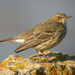 Θαλασσοκελάδα - Photo (c) Paul Roberts, μερικά δικαιώματα διατηρούνται (CC BY-NC)