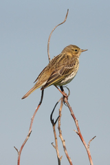 Meadow Pipit - Photo (c) Mark Kilner, some rights reserved (CC BY-NC-SA)