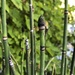 Caña Carricillo - Photo (c) tomkaye, algunos derechos reservados (CC BY-NC)