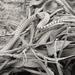 Pseudalsophis elegans - Photo (c) Eduardo Quispe Salcedo, osa oikeuksista pidätetään (CC BY-NC)