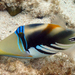 Lagoon Triggerfish - Photo (c) kuroshio, some rights reserved (CC BY-NC)
