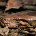 Indian Python - Photo (c) Uday Agashe, some rights reserved (CC BY-NC)