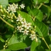 American Buckwheat Vine - Photo (c) Jed Aplaca, some rights reserved (CC BY-NC)