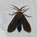 Yellow-collared Scape Moth - Photo (c) Royal Tyler, some rights reserved (CC BY-NC-SA)