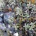 Rhododendron adamsii - Photo (c) Tayler,  זכויות יוצרים חלקיות (CC BY-NC)