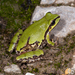Arizona Tree Frog - Photo (c) bryan-maltais, some rights reserved (CC BY-NC)