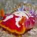 Hexabranchus sanguineus - Photo (c) Craig Hoover, μερικά δικαιώματα διατηρούνται (CC BY-NC)