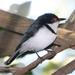 Platysteira peltata - Photo (c) Alan Manson,  זכויות יוצרים חלקיות (CC BY-SA)