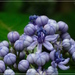 Hydrangea febrifuga - Photo (c) PK Yeung, algunos derechos reservados (CC BY-NC)