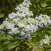 Virginia Mountain Mint - Photo (c) Sherrie Snyder, some rights reserved (CC BY-NC)
