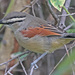 Brown-crowned Tchagra - Photo (c) Jerry Oldenettel, some rights reserved (CC BY-NC-SA)