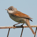 Common Whitethroat - Photo (c) Mark Kilner, some rights reserved (CC BY-NC-SA)