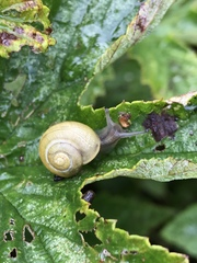 Cepaea hortensis image