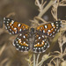Behr's Metalmark - Photo (c) Bill Bouton, some rights reserved (CC BY-SA)