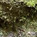 Seligeria donniana - Photo (c) Tom Neily, algunos derechos reservados (CC BY-NC)