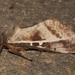 Oxycanus dirempta - Photo (c) David Mules, algunos derechos reservados (CC BY-NC)