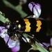 Hycleus phaleratus - Photo (c) Bernard DUPONT, algunos derechos reservados (CC BY-NC-SA)
