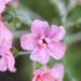 Hackelia mundula - Photo (c) Steve Ganley, algunos derechos reservados (CC BY-NC)