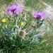 Centaurea uniflora - Photo (c) Luca Maurino, alguns direitos reservados (CC BY-NC-ND)
