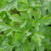 Garden Parsley - Photo (c) Nathan Odgers, some rights reserved (CC BY-NC)